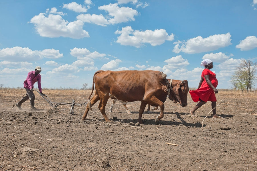 <p>A man and his pregnant wife, both of whom are HIV positive, plough their field in Chiwonde, Zimbabwe during a drought in the region</p>