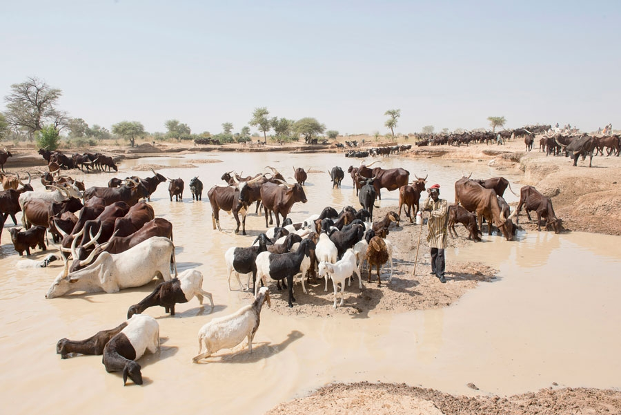 <p>Goats and cattle drinking water near Zinder, Niger</p>